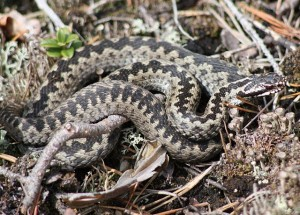 vipera berus, European viper or adder