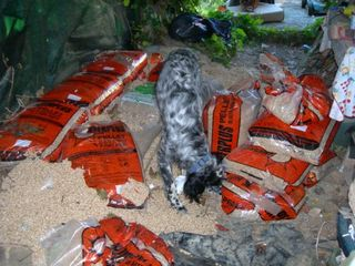 Gassie having fun with wood pellets