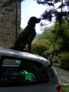 Gassie on the car roof