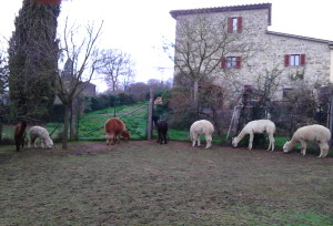 Breakfast time for my alpacas in Tuscany