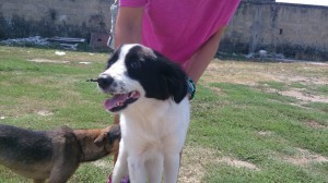 Border collie cross at Livorno