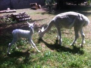 baby alpaca Pomino